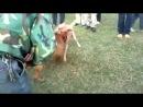 Собачьи бои питбуль vs метис